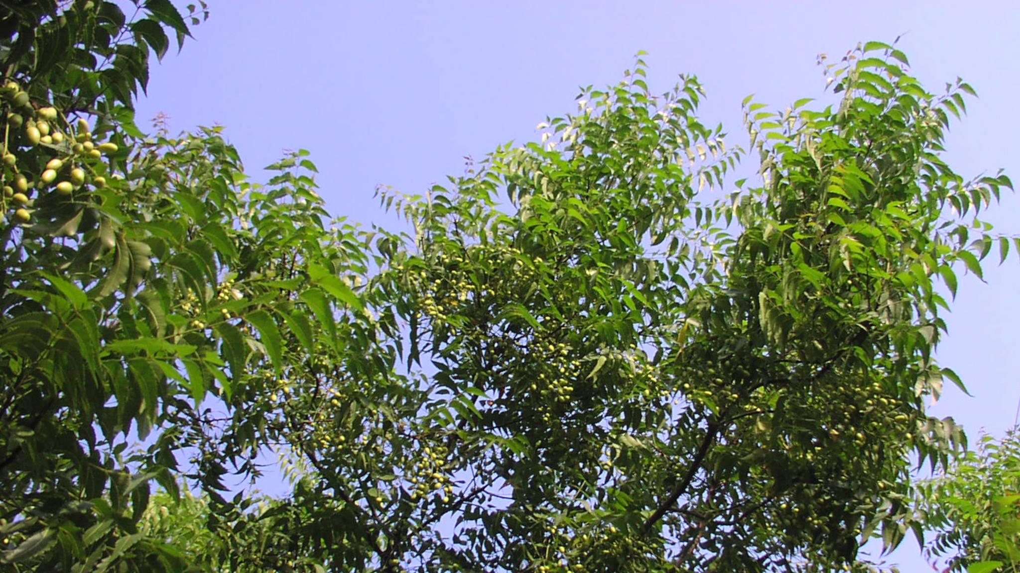 20 Profitable Trees for Farming in India
