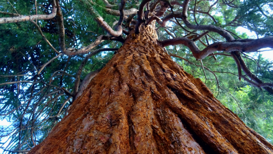 nagalinga tree