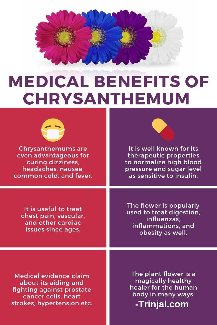medical benefits of chrysanthemum
