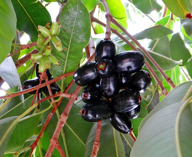 grow Jamun plant at home