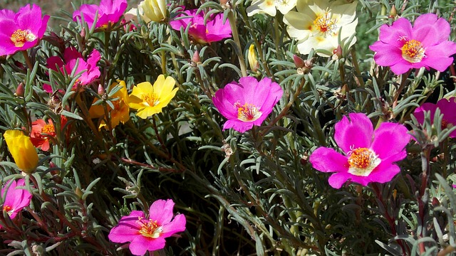 Portulaca benefits