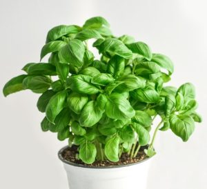 Basil Leaves And Plants