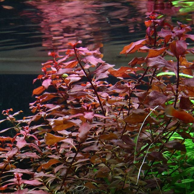 Red Ludwigia - high oxygen producing aquatic plant