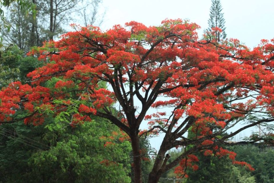gulmohar tree flowers