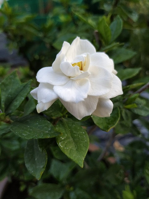 Gardenia Augusta: