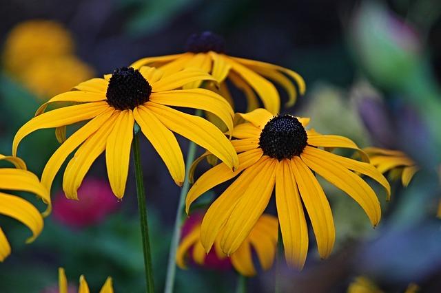 coneflower - 365 days flowering plant