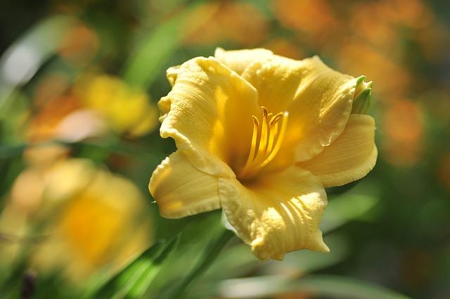 Stella de Oro Daylily (365 days flowering plant)
