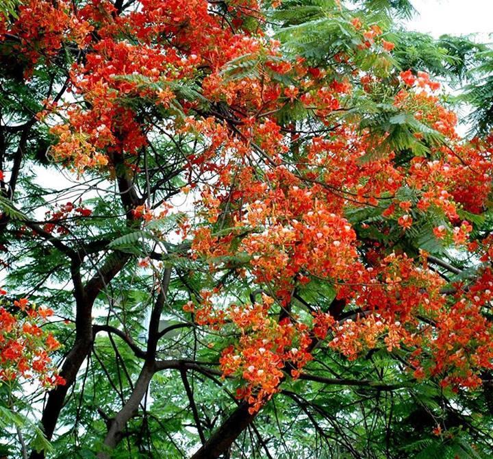 Gulmohar Trees Complete Information | Uses of Gulmohar Trees