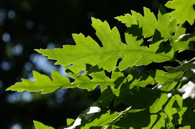 turkey oak to control dust pollution