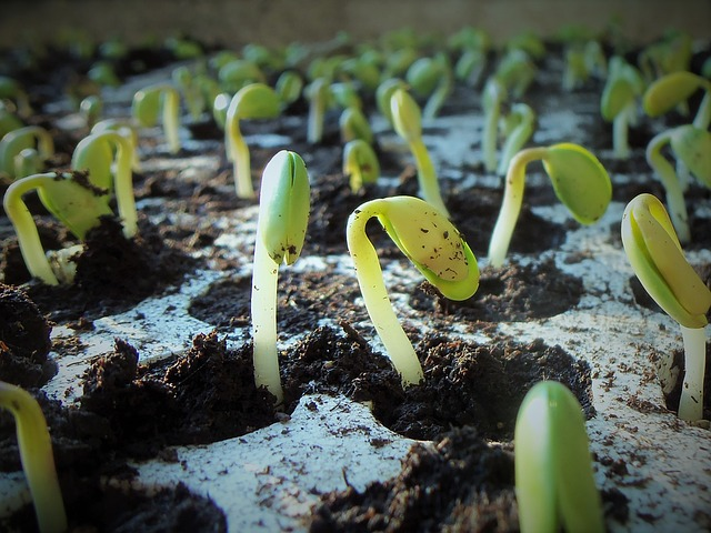 germinating Soybeans for classroom project