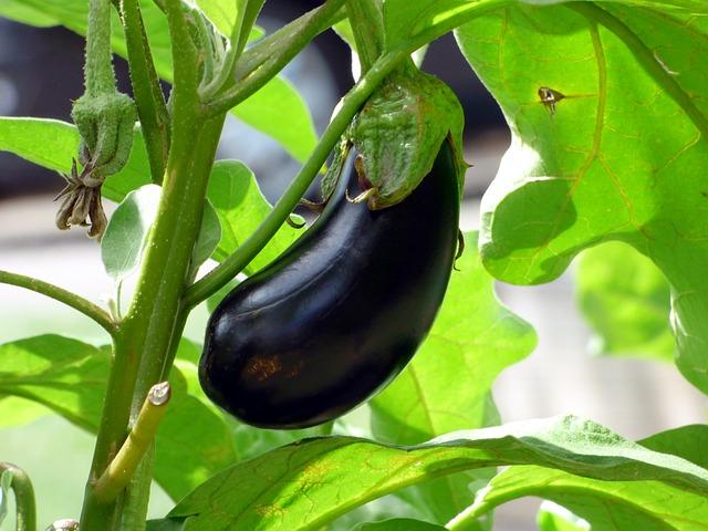 Eggplant - expensive vegetable to grow
