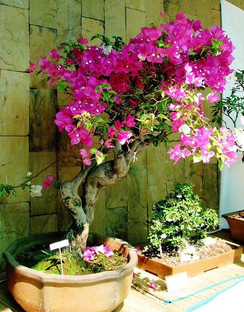 How to Grow Bougainvillea in a Pot?